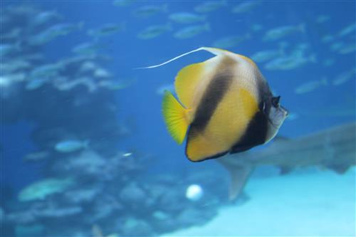 דג נוי תקריב
